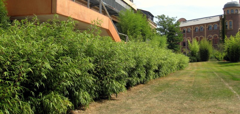 Bambushecken Die Sechs Uberzeugenden Vorteile Bambusborse