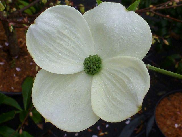 hartriegel cornus nuttallii eddies white