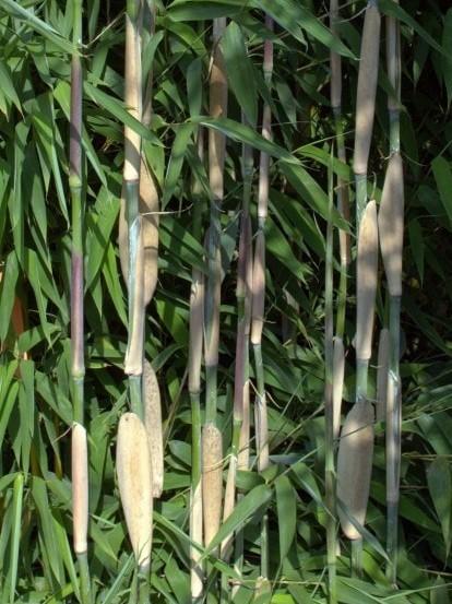 Fargesia 'Ivory Ibis'®