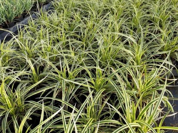 Segge Carex  foliosissima 'Vanilla Ice'
