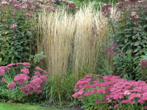 reitgras calamagrostis x acutiflora 39 karl foerster 39 bambusb rse. Black Bedroom Furniture Sets. Home Design Ideas