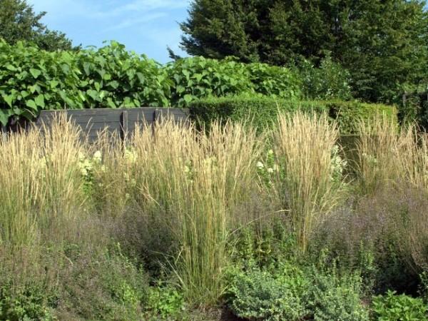 Reitgras Calamagrostis x acutiflora 'Overdam'