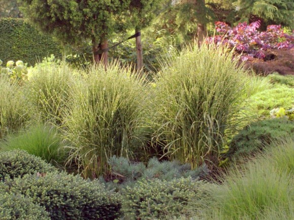 Chinaschilf Miscanthus sinensis 'Gold Bar'