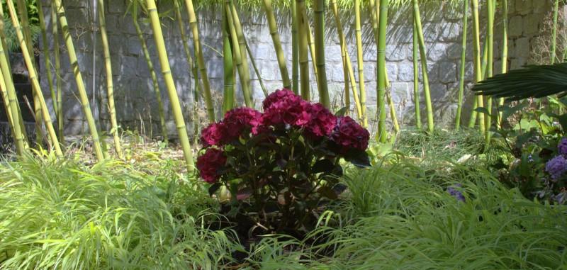 Hortensien Blütenfeuerwerk Im Bambusgarten Bambusbörse