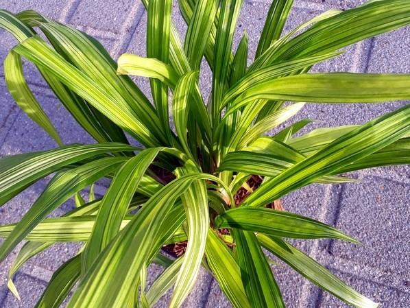Segge Carex siderosticha 'Shiro'