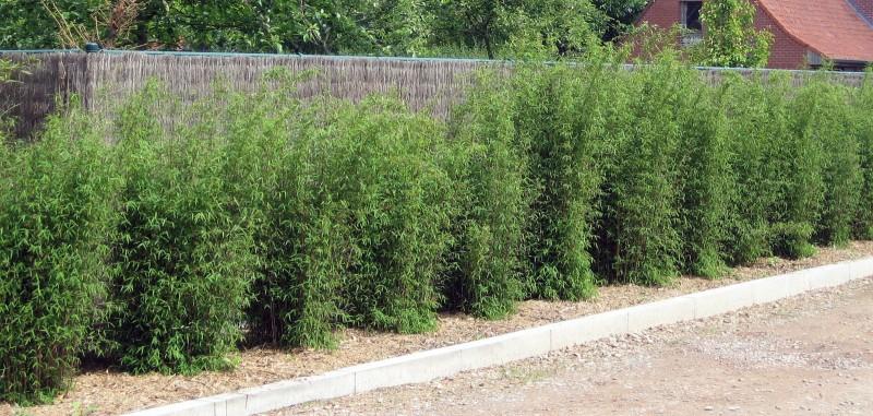 Bambus Hecke bambushecke kaufen große auswahl top qualität bambusbörse