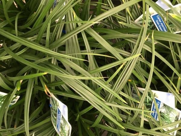 Segge Carex  'Irish Green' 2