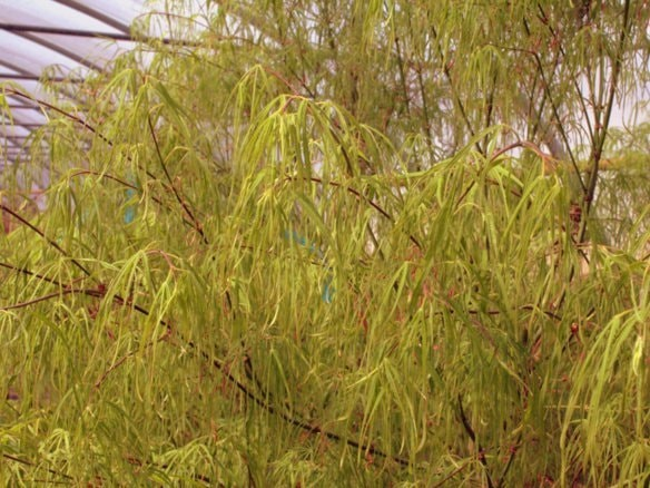 Fächerahorn Acer palmatum 'Koto no ito'