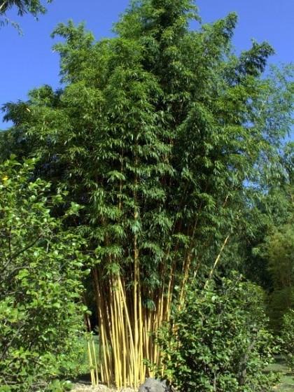 Phyllostachys vivax 'Aureocaulis'