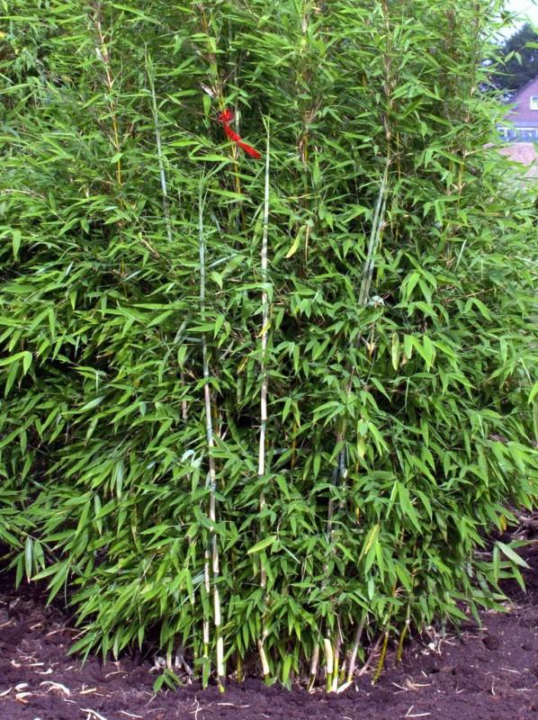 Bambus Kaufen Top Auswahl An Bambuspflanzen Bambusbörse