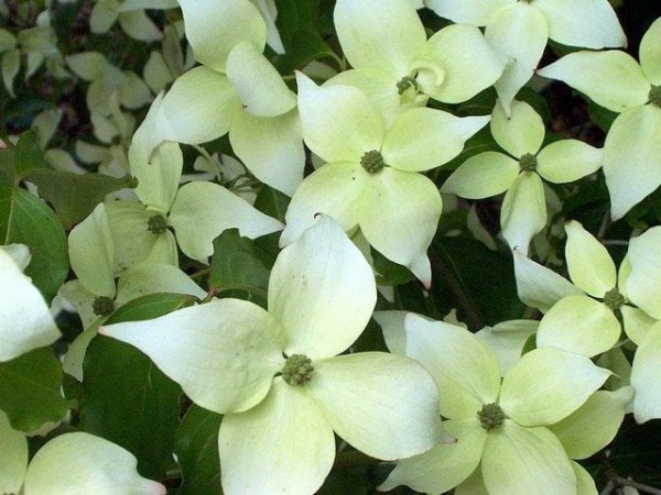 Cornus kousa chinensis 'China Girl'