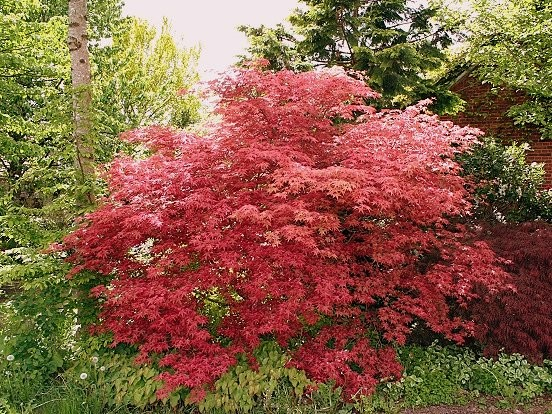 Fächerahorn Acer palmatum 'Deshojo'