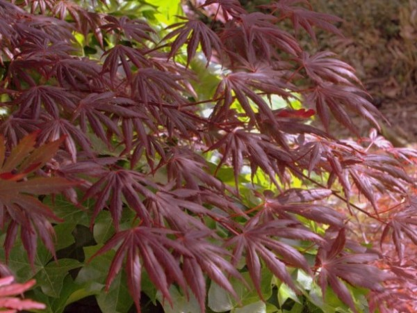Fächerahorn Acer palmatum 'Trompenburg'