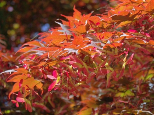 Fächerahorn Acer palmatum 'Bloodgood'
