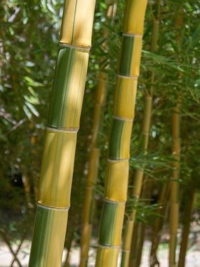 Phyllostachys vivax 'Huangwenzhu inversa'