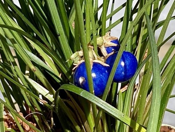 Schlangenbart Ophiopogon japonicus