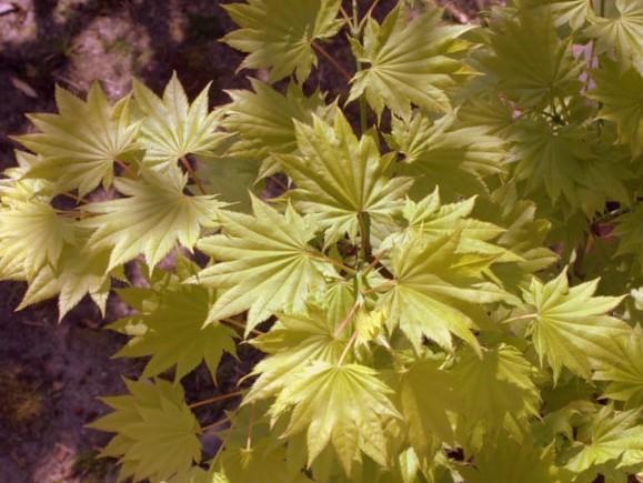 Goldahorn Acer shirasawanum 'Aureum'