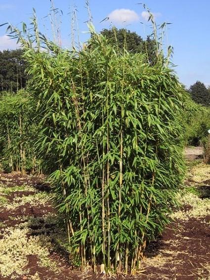 Bambus Fargesia murielae Standing Stone