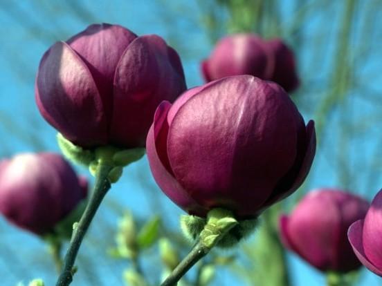 Magnolia 'Black Tulip'®