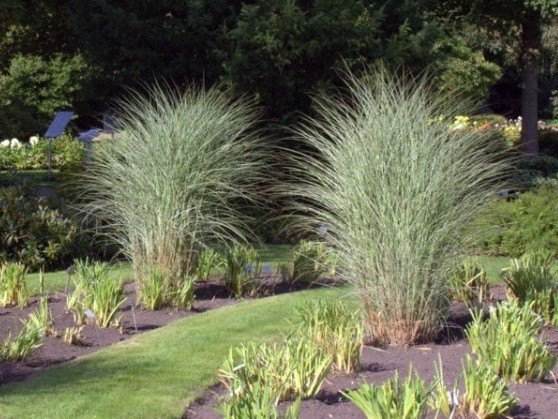 Chinaschilf Miscanthus sinensis 'Morning Light' 4