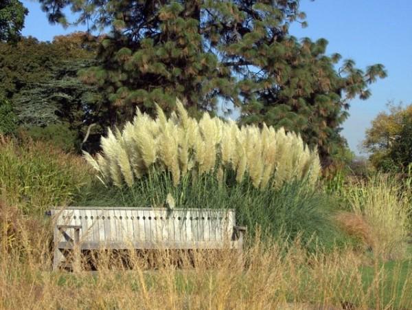 Pampasgras Cortaderia selloana