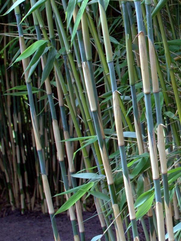 Bambus Kaufen Top Auswahl An Bambuspflanzen Bambusborse