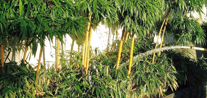 Bambus Giessen Bzw Wassern Bambusborse
