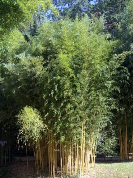 phyllostachys aureosulcata 39 aureocaulis 39 kaufen bambusb rse. Black Bedroom Furniture Sets. Home Design Ideas